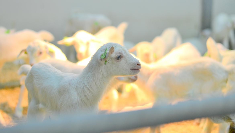 Melkgeitenhouderij veterinaire begeleiding melkgeitenbedrijf opfok geiten