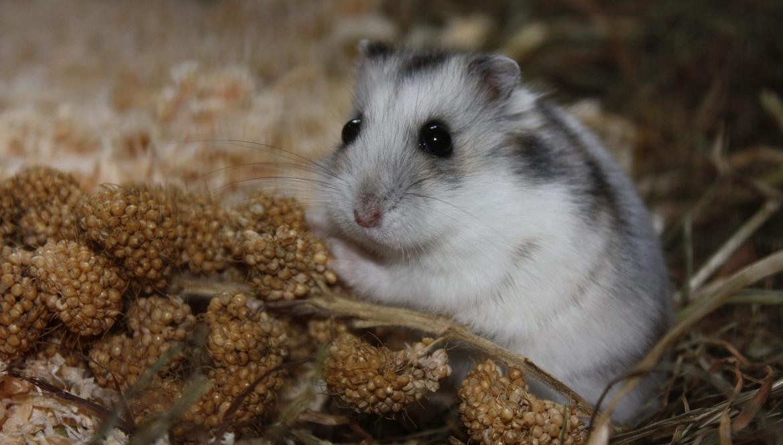 Hamsters bij Dierenartsen Midden Brabant
