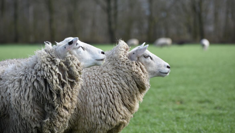Ook voor uw schapen de juiste zorg op maat